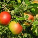 Obelų veislė – RUDENINIS DRYŽUOTASIS