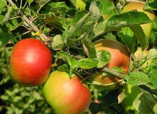 malus obuliai
