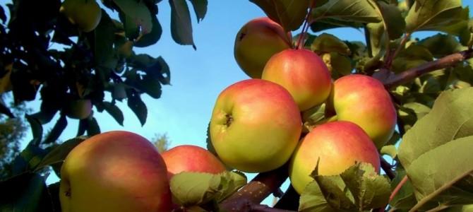 Auksis obuolių veislė