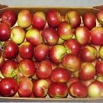 Lobo obuolių veislė