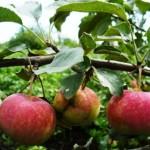 Obelų apsauga nuo vaismedžių skrotėlines ligos