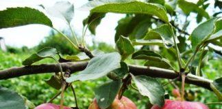 uelsi obuoliai