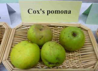 COXI POMONA obelys