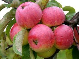 melis obuoliai
