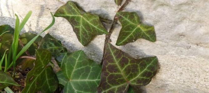 Vijokliniai žydintys augalai