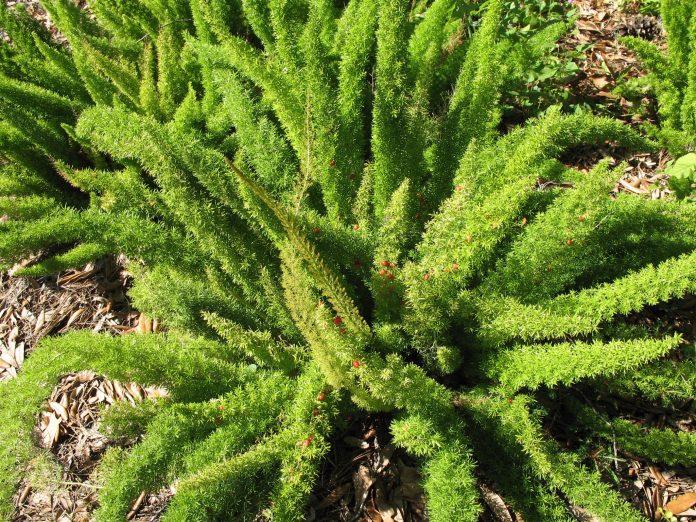 Dekoratyviniai lapiniai augalai