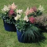 Populiariausios dvimetės ir daugiametės gėlės