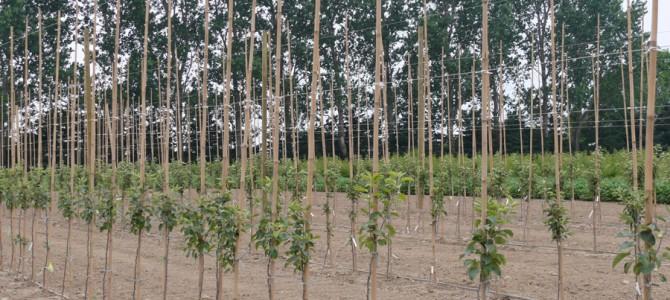 Kaip dirbti dirvą tarpueiliuose tarp vaismedžių ir kitų medžių bei krūmų