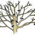 Kaulavaisinių medžių genėjimas – kaip taisyklingai genėti slyvus ir vyšnias