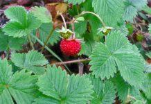 Žemuogės - sodinimas, auginimas ir priežiūra