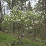 Medlieva – mažai žinomas bet naudingas augalas