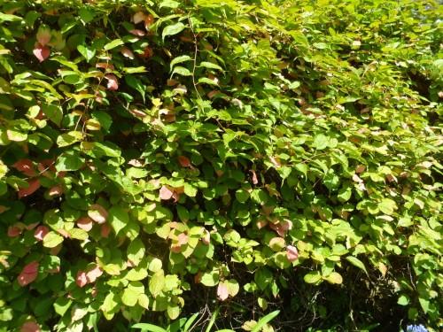 aktinidiju auginimas