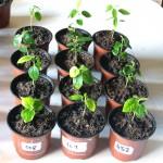 Daržovių daigų auginimas ir persodinimas