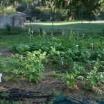 Kokių rūšių daržoves geriausia auginti sklype? – Daržovių auginimo sąlygos