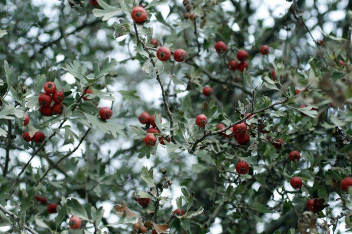 Gudobelė – jos auginimas, priežiūra ir gydomosios savybės