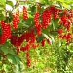 Citrinvytis(Schizandra)-sodinimas, priežiūra, daiginimas ir derlius bei jo nauda sveikatai