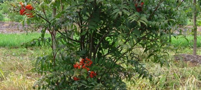 Išsamus gidas apie Šermukšnius – jų maistinės savybės, auginimas, uogos, priežiūra