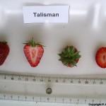 Talisman braškių auginimas