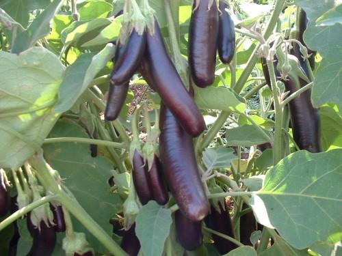 baklazanu auginimas