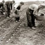 Bulvių maistinės savybės ir jų atsiradimo istorija mūsų kraštuose