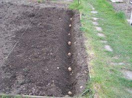 bulvių sodinimo kalendorius