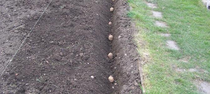 Kada sėti bulves? Geriausias laikas bulvių sodinimui norint, kad jos nepūtų