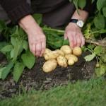 Nuo ko priklauso bulvių derlius: dirva, drėgmė, temperatūra, šviesa ir trašos