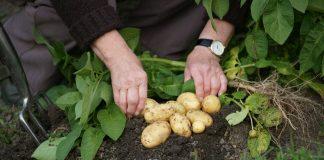 bulvių tręšimas