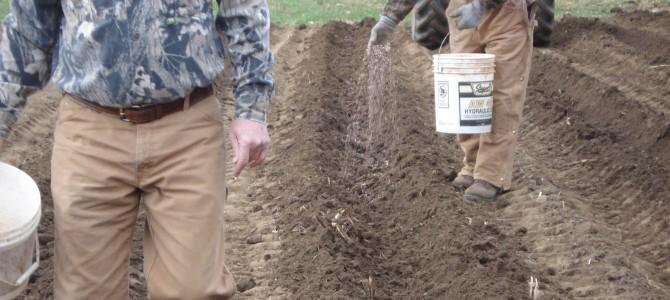 Kaip tręšti ir kokias trašas naudoti bulvėms norint gauti maksimalų derlių?