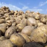 Pagal kokius veiksnius rinktis bulvių veislę ir kas juos nulemia