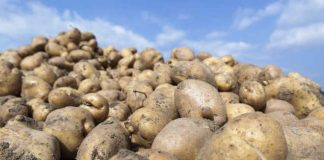 bulvių veislių kokybės įvertinimas