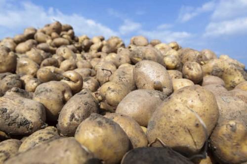 bulviu veisliu kokybes vertinimas
