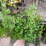 Būkit sveiki kaip žirniai – kaip darže auginti žirnius ir šparagines pupeles?