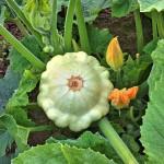 Kaip auginti patisonus, moliūgus ir aguročius?