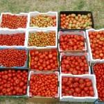 Kaip ir kada skinti pomidorus?