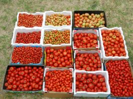 pomidorų derlius
