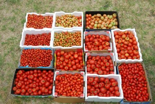 pomidoru derlius