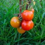 Pomidorų kilmė ir paplitimas