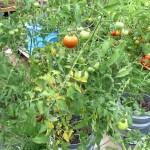 Kova su daržovių ligomis ir kenkėjais
