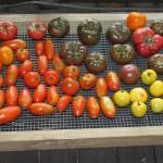Pomidorų klasifikacija, jų maistinė nauda ir jų panaudojimas
