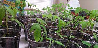 pomidorų sodinukai