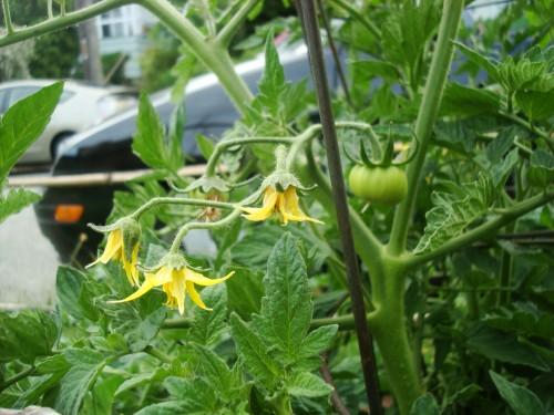pomidoru zydejimas