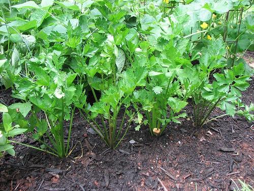 salieru auginimas