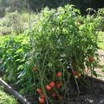 Kada, kiek ir su kuo trešti pomidorus?