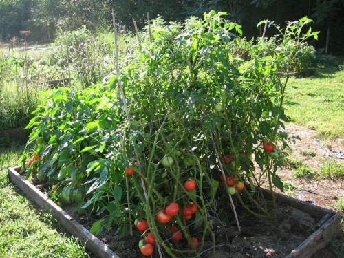 salietra pomidorams