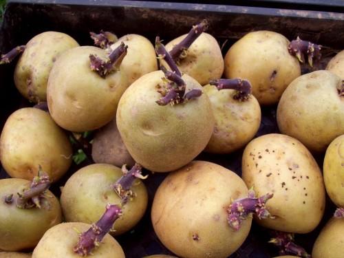 seklines bulves