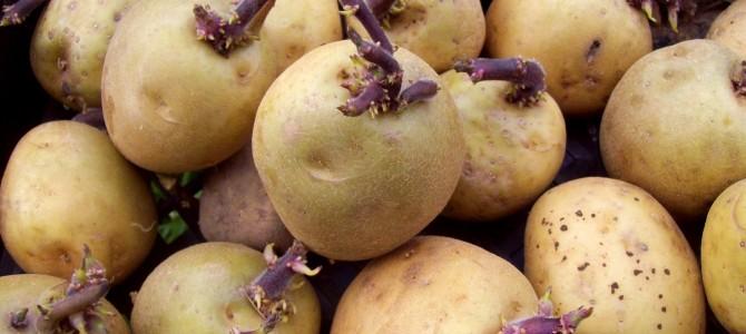 Kaip paruošti sėklines bulvės jų sodinimui?