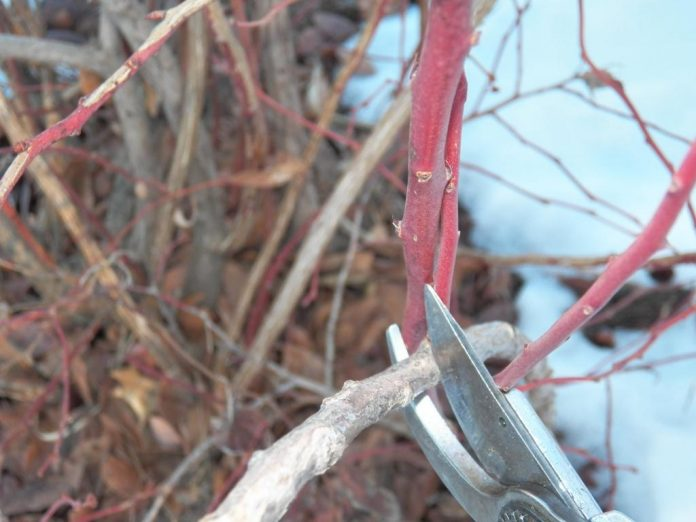 Šilauogių gėnėjimas – kaip taisyklingai nugenėti šilauogę [Video]