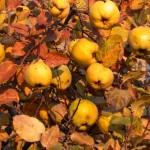 Atvaisų(svarainių) auginimas, priežiūra, derlius ir dauginimas