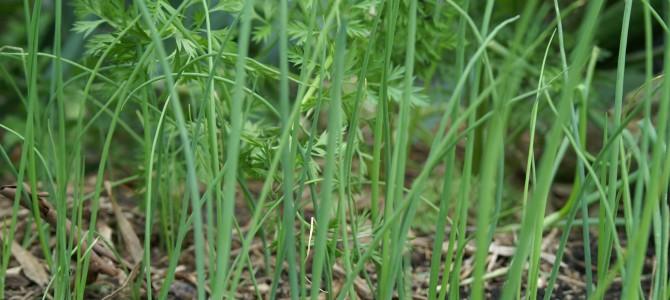 Svogūnų laiškų auginimas visus metus